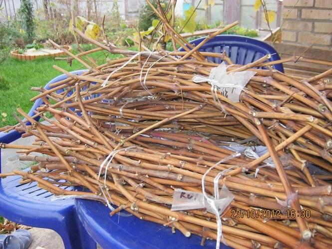 виноград черенки хранение зимой